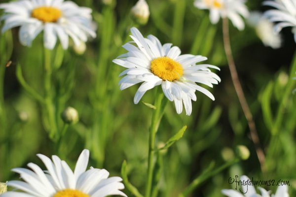 What would a Frugal Moms garden be without some daisies?